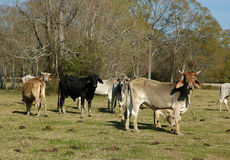 Brahama Cattle Stock Photos