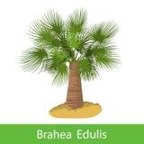 Brahea Edulis cartoon tree Royalty Free Stock Images