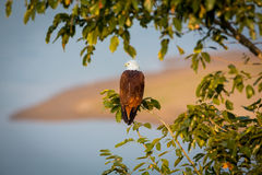 Brahiminy Kite surveying the sea for fish. stock images