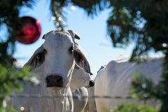 Brahma母牛圣诞节画象 免版税库存图片