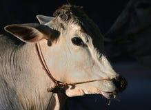 brahma母牛特写  免版税库存图片