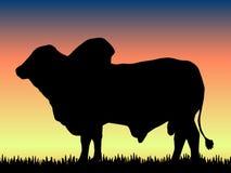 Brahma Bull Lizenzfreie Stockfotos