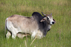 Brahma Bull. This image of the magnificent brahma bull in the tall grasses was taken in NW Montana Stock Image