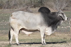 Brahma Bull. In the afternoon sun Stock Photos