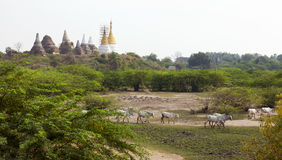 Ancient Landscape. Brahma cattle walk across the landscape with ancient and reconstructed temples in the background at the small town of Hanlin in northern Stock Photos