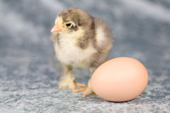 Brahma chicken. Cute blue brahma chicken with the egg it originally came from. Chicken is 5 days old stock image