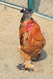 Brahma (chicken) Royalty Free Stock Photography