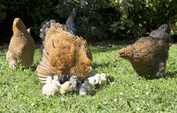 Brahma chicken and chicks. In a garden royalty free stock photo