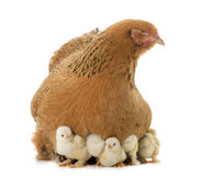 Brahma chicken and chicks. In a studio royalty free stock images