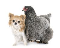 Brahma chicken and chihuahua. In front of white background stock image