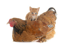 Brahma chicken and kitten. In front of white background royalty free stock image