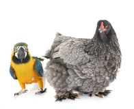 Brahma chicken and parrot. In front of white background royalty free stock photos