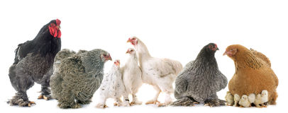 Brahma chicken in studio. Brahma chicken in front of white background stock photos