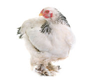 Brahma chicken in studio. Brahma chicken in front of white background stock image