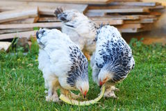 Brahma chicken Royalty Free Stock Photos