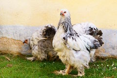 Brahma chicken Royalty Free Stock Images