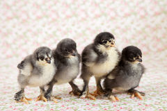 Brahma chicks Royalty Free Stock Photos