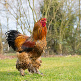 Brahma cock Stock Image
