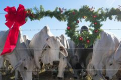 Brahma Cow Christmas Portrait. Portrait of Brahma cows at Christmas Royalty Free Stock Image