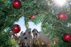 Brahma Cow Christmas Portrait. Portrait of Brahma cows at Christmas Royalty Free Stock Photography
