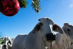 Brahma Cow Christmas Portrait. Portrait of Brahma cows at Christmas Royalty Free Stock Photos