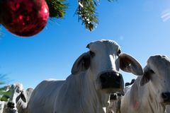 Brahma Cow Christmas Portrait. Portrait of Brahma cows at Christmas Stock Photo