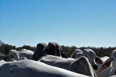 Brahma Cow Close up. Close up of a Brahma cow herd Stock Photo
