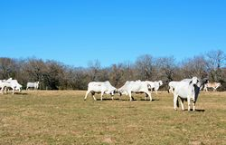 Brahma Cows Fighting. Brahma cow herd and two brahma cows fighting Stock Photo