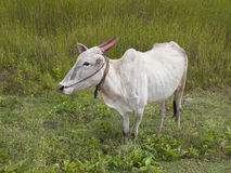 Brahma cow in india. A brahma cow with red painted horns in karnataka south india royalty free stock images