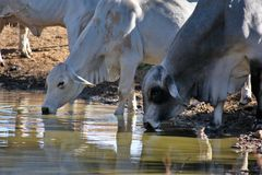 Brahma Cows Drinking. Brahma cows getting a drink of water Royalty Free Stock Image