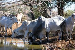 Brahma Cows Drinking. Brahma cows getting a drink of water Stock Images