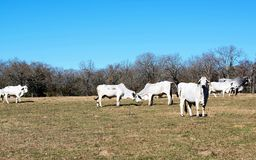 Brahma Cows Fighting. Brahma cow herd and two brahma cows fighting Stock Photos
