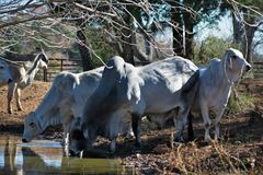 Brahma Cows Drinking. Brahma Cows getting a drink of water Royalty Free Stock Photo