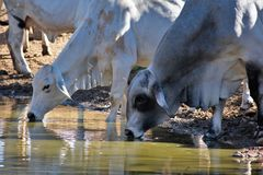 Brahma Cows Drinking. Brahma cows getting a drink of water Stock Photography