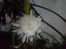 Brahma kamala. This flower is called Brahma kamala in India big flower which blossoms only at night stock images