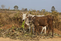 Brahma krowy Obrazy Royalty Free