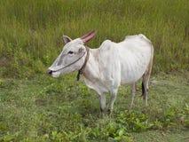 Brahma Kuh in Indien lizenzfreie stockbilder
