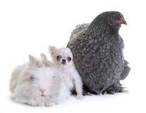 Brahma kurczak, królik i szczeniaka chihuahua, Zdjęcie Stock