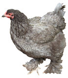 The Brahma is a large breed of chicken. Developed in the United States Royalty Free Stock Photo