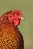 Brahma Rooster Stock Images