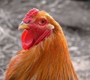 Brahma rooster Royalty Free Stock Photography