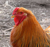 Brahma rooster Stock Photo