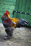 Brahma rooster. Royalty Free Stock Photo
