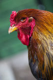 Brahma rooster in a free range farm. Royalty Free Stock Photo