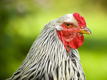 Brahma rooster portrait Stock Photography