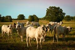 brahman βοοειδή στοκ φωτογραφία