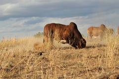 Brahman ταύρος χρέωσης στοκ φωτογραφία με δικαίωμα ελεύθερης χρήσης