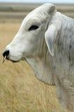 brahman ταύρος στοκ φωτογραφίες