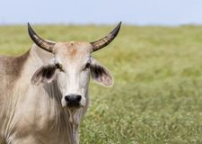 The Brahman or Brahma is bred in United States from cattle breed. The American Brahman cattle were the first beef breed developed in the United States. The Royalty Free Stock Photo