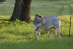 Brahman Bull. A young Brahman bull standing in a Texas field in spring Stock Images